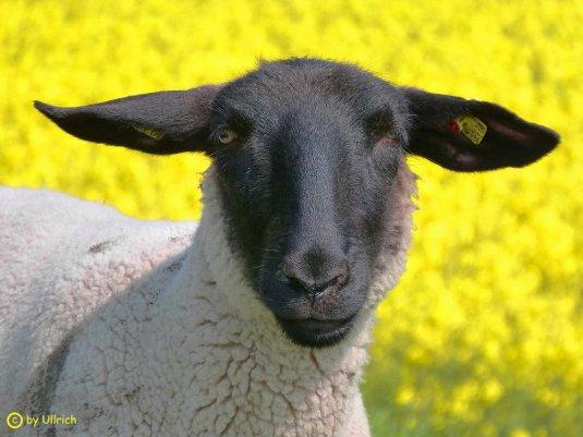 Deich Schaf
