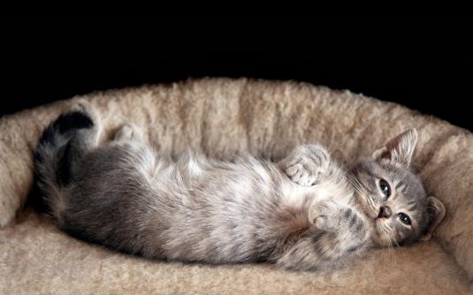 Studio shot of gray kitten on a black background